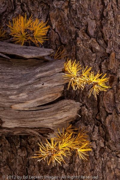 Alpine Larch Detail, Alpine Lakes Wilderness, Washington