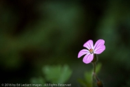 Herb Robert Wildflower, Cougar Mountain Wildland Park, Issaquah, Washington