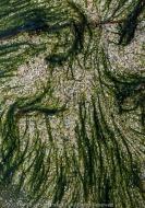 Seaweed on Rock, Westfjords, Iceland