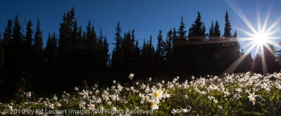 Avalanche Lilies at Dawn, Obstruction Point, Olympic National Park, Washington