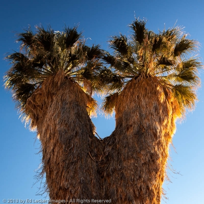 Fan Palm at Cottonwood Spring, Joshua Tree National Park, California