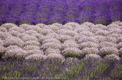 Lavender Variations, Sequim, Washington
