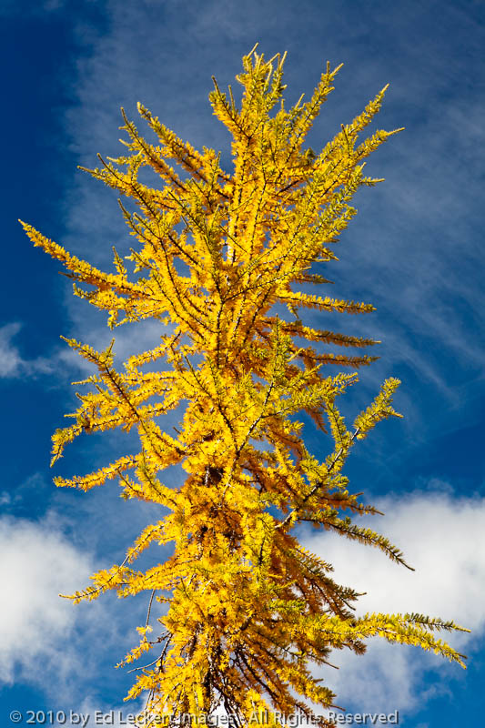 Larch at Maple Pass, Okanogan National Forest, Washington