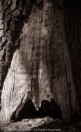 Evil Tree, Yosemite National Park, California