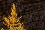 Fiery Larch, Yoho National Park, British Columbia