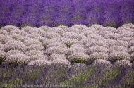 Lavender Variations, Sequim, Washington