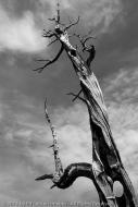 Pencil Pine Skeleton, Pine Lake, Great Western Tiers Conservation Area, Tasmania, Australia
