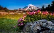 Pink Mountain-Heather in Spray Park Meadow, Mount Rainier National Park, Washington