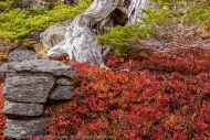 Rock and Dead Tree, Larch Lake, Alpine Lakes Wilderness, Washington