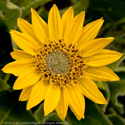 Arrowleaf balsamroot in the Tom McCall Nature Preserve, Columbia Gorge, Oregon