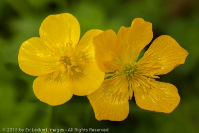 Buttercups in the Rainforest, Olympic National Park, Washington