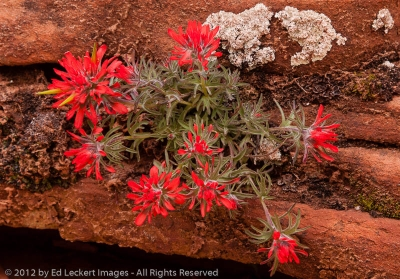 Desert Paintbrush and Sandstone, Zion National Park, Utah
