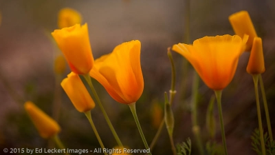 Glowing Poppies, Tonto National Forest, Arizona