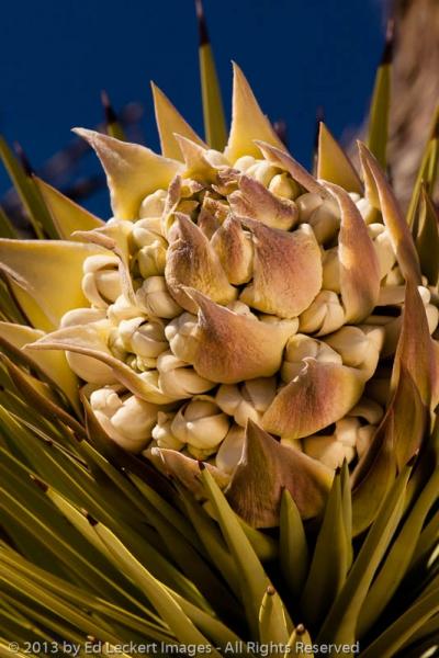 Joshua Tree Bloom, Joshua Tree National Park, California