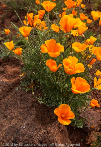 Poppies on a Rock, San Carlos Apache Reservation, Arizona