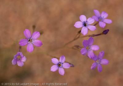 Purple Wildflowers, Tonto National Forest, Arizona