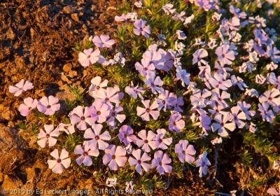 Spreading phlox, Gifford Pinchot National Forest, Washington