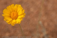 Desert Marigold, Tonto National Forest, Arizona