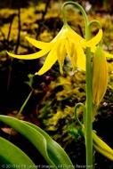 Glacier lily in the Tom McCall Nature Preserve, Columbia Gorge, Oregon