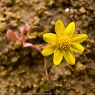 Gold stars in the Tom McCall Nature Preserve, Columbia Gorge, Oregon