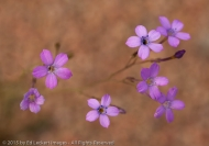 Purple Wildflowers, Tonto National Forest, Arizona