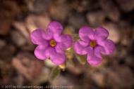 Purple mat along Artist's Drive, Death Valley National Park, California
