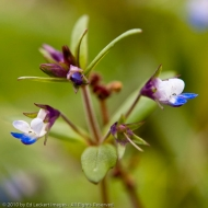 Small-flowered blue-eyed Mary in the Tom McCall Nature Preserve, Columbia Gorge, Oregon