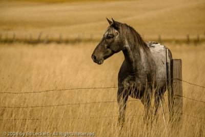 Appaloosa and Fence, The Palouse, Idaho