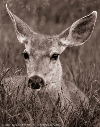 Doe in Tuolumne Meadows, Yosemite National Park, California