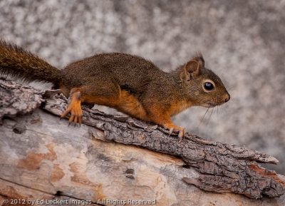 Douglas Squirrel, Alpine Lakes Wilderness, Washington