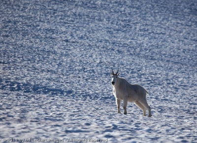 Goat on Snowfield, Glacier National Park, Montana