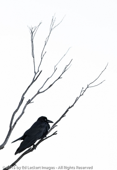 Tasmanian Raven on Branch, Freycinet National Park, Tasmania, Australia