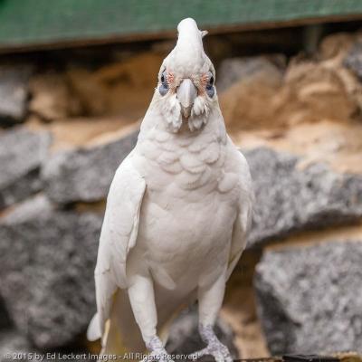 Wise Bird, Tasmania, Australia