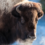 Alert Bison, Yellowstone National Park, Wyoming
