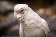 Cockatoo Freedom, Tasmania, Australia