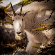 Curious Goat, Alpine Lakes Wilderness, Washington