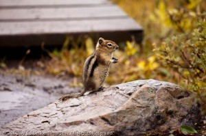 A Golden-Mantled Ground Squirrel comes out from his protected den to beg for snacks, in Mt. Assiniboine Provincial Park, British Columbia.