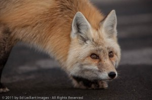 Red Fox, Mount Rainier National Park, Washington