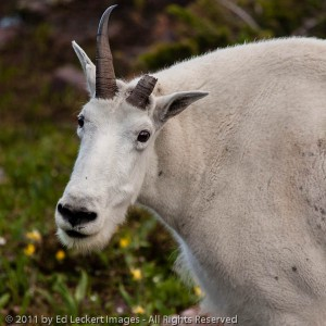 One-horned goat, Glacier National Park, Montana