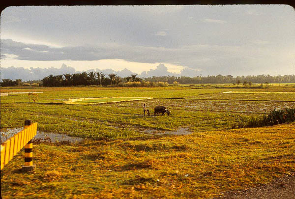 Rice Paddy and Water Buffalo, North Sumatra, Indonesia