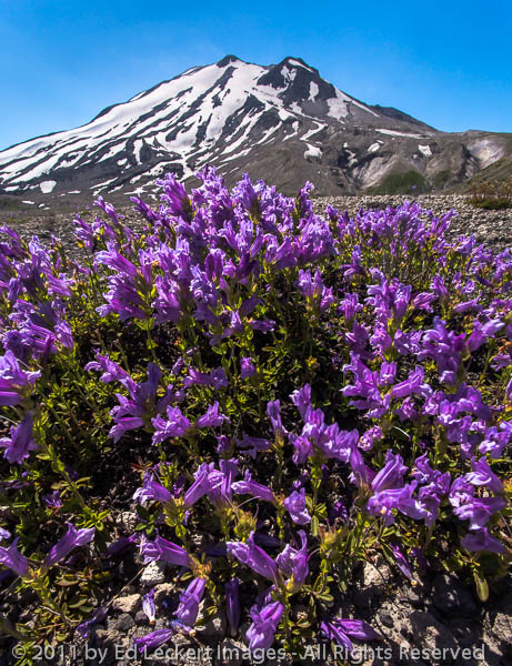 Penstemon and Mt. St. Helens, Mount St. Helens National Volcanic