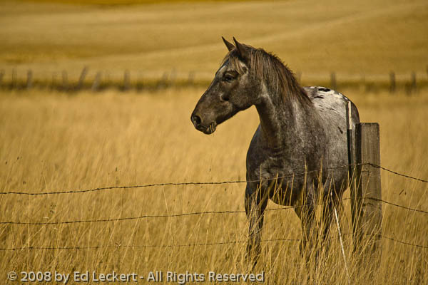 Appaloosa and Fence, The Palouse, Washington