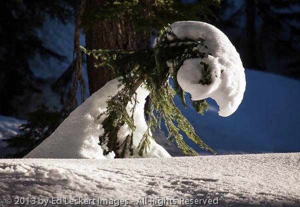 Tree Under Snow, Mount Rainier National Park, Washington