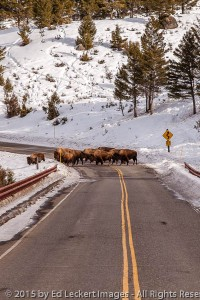 Bison Jam, Yellowstone National Park, Wyoming