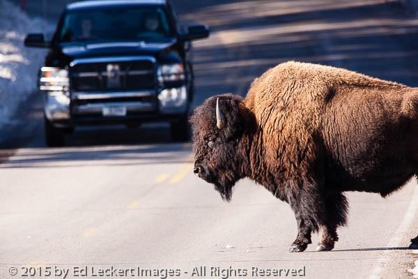 Bison SUV Standoff, Yellowstone National Park, Wyoming