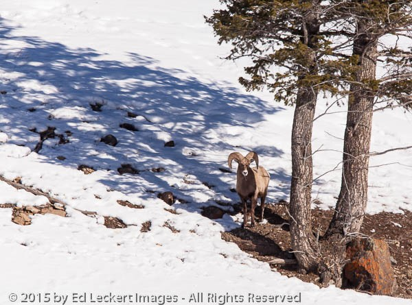 Bighorn Sheep and Tree, Yellowstone National Park, Wyoming
