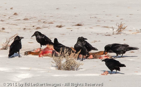 Crows on a Kill, Yellowstone National Park, Wyoming