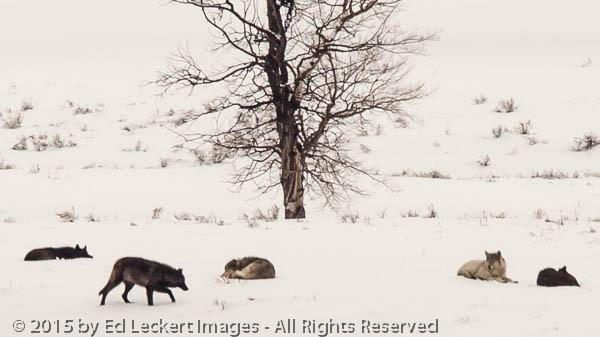 Wolf Pack in Yellowstone, Yellowstone National Park, Wyoming
