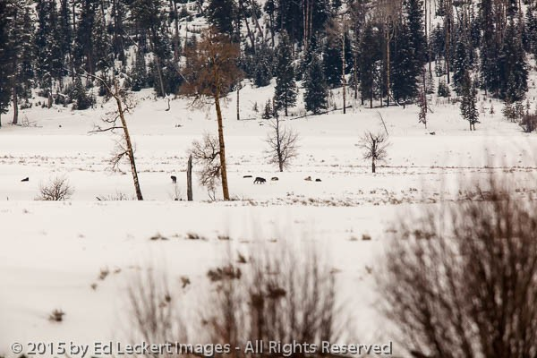 Wolf Pack in Yellowstone, Yellowstone National Park, Wyoming