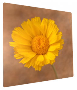 Desert Marigold on Metal Print